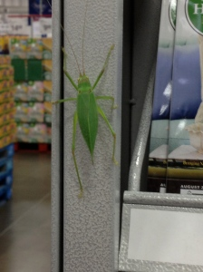 Sam's Club: a popular shopping destination for katydids.